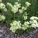 Cushion buckwheat