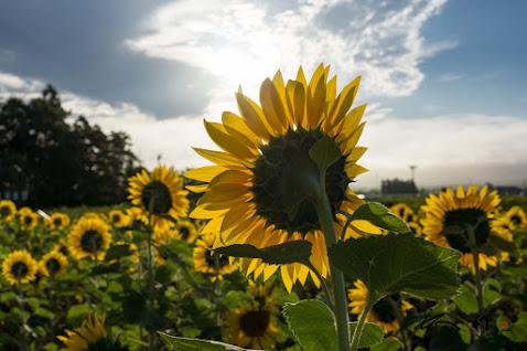 透き通るように輝くひまわりの花びら
