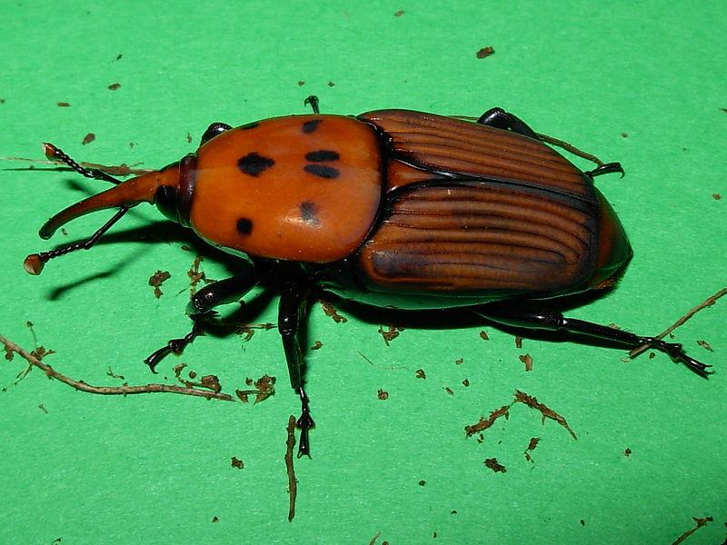Rhynchophorus_ferrugineus_(femmina).jpg