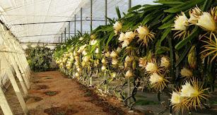 Fundación UAL-Anecoop, flor pitahaya.