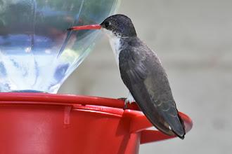 Photo: Violet-crowned Hummingbird