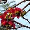 Kante Saanvar, सांवरी Saanvari, शाल्मली Shaalmali,Red Silk Cotton Tree