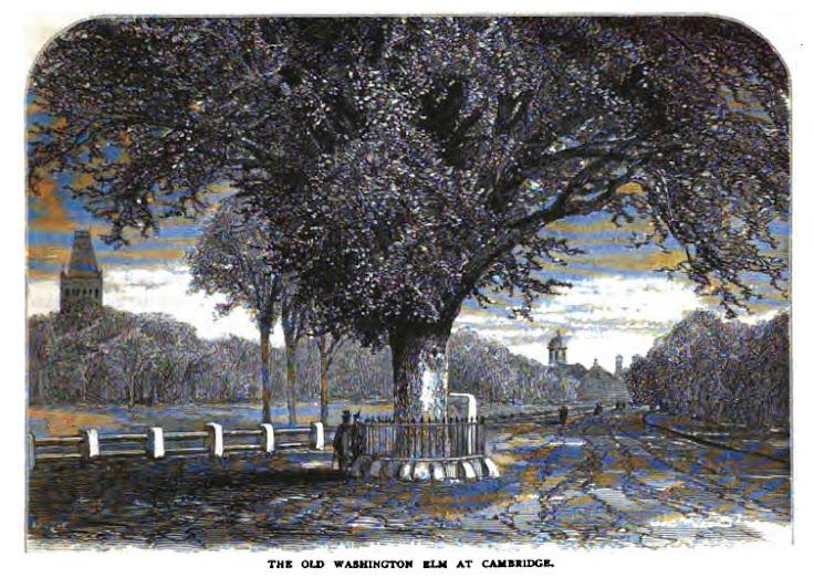 Depiction of the Old Washington Elm.