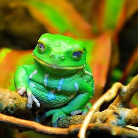 frog by Andrew Savasuk - Animals Amphibians ( frog )