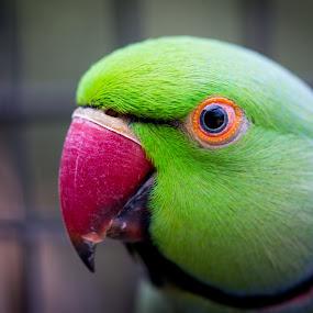 I've Got My Eye On You by Gary Tindale - Animals Birds ( bird, perth, nature, green, beak, closeup,  )