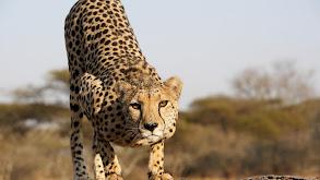 The Cheetah Children thumbnail