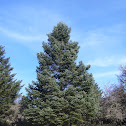 Greek fir