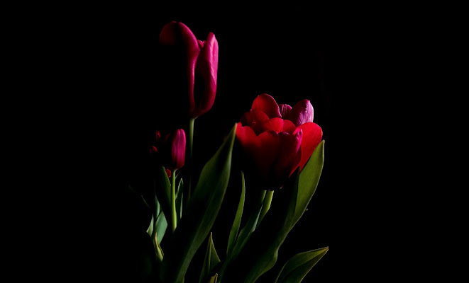 Tulips di outcryes