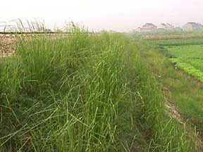 Photo: CHN_RY08 China - Railroad stabilization. The site was a raised embankment, mainly sandfill, very difficult to compact and stabilize. Newly planted vetiver hedgerows showing growth after a few months. Notice that the initial weed competition is no long evident