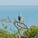 White-bellied Sea-Eagle