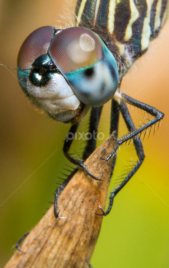 Dragonfly by Andrew Savasuk - Animals Insects & Spiders ( macro, d7100, nikon, dragonfly, insect,  )