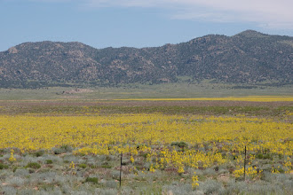 """Photo: Between Villa Grove and Saguache there was a """"band"""" around the San Luis Valley of these yellow flowers."""