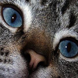 Blue eyes by Marissa Enslin - Animals - Cats Portraits (  )