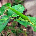 Asian Bush Katydid
