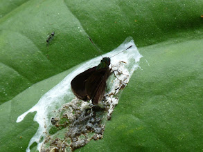 Photo: STRANGE-STIGMA SKIPPER--mnasithous simplicissima-- RIO ANZU--id David Geale