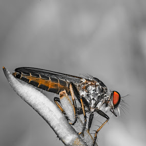 Am I beautiful! by Vijay Tripathi - Animals Insects & Spiders ( rudder fly, bugs, fly, macro photography, insect,  )
