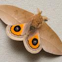 Godart's Bullseye  moth