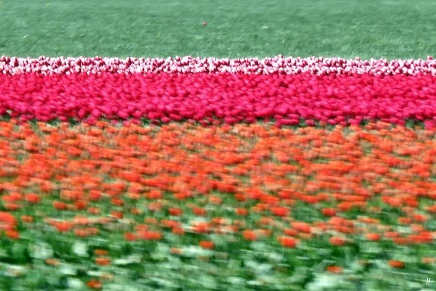 2019-04-09 NL Westfriesland - Tulpenfelder in der Polderlandschaft