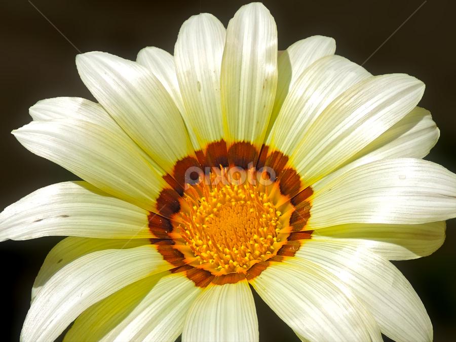 beautiful gazania by LADOCKi Elvira - Flowers Single Flower ( nature, color, flowers, garden )
