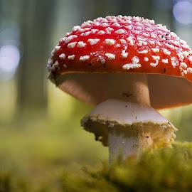 Giftig by Helmut Gloor - Nature Up Close Mushrooms & Fungi ( mushroom, fliegenpilz, macro, amanita muscaria, forest, toadstool, close up )