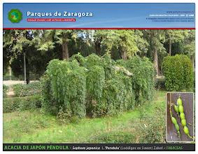 Photo: Acacia de Japón péndula