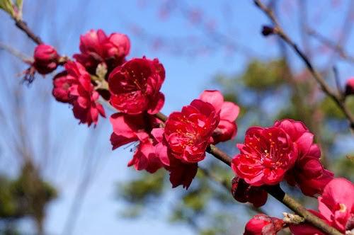 2020【全台櫻花祭行程】推薦景點.秘境.美食.懶人包