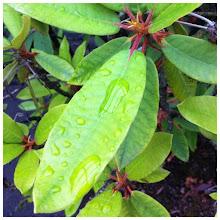 Photo: Tree green leaves after rain #plant #tree #green #leaf #leaves #intercer #rain #drops #flower - via Instagram, http://instagr.am/p/MmoVI_pfnD/