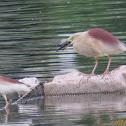 Indian Pond Heron catching prey