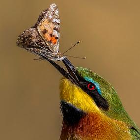 Butterfly snack by JD Lotz - Animals Birds (  )