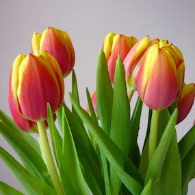 Spring greeting by Helena Moravusova - Flowers Flower Arangements ( tulips, flowers )