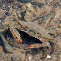 Blue Swimmer Crab (Juvenile)