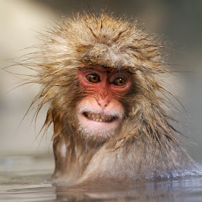 Smiling Punk by Harry Eggens - Animals Other Mammals ( mountain, proframe photography, leaves, buds, invertebrates, nagano, mountains, fungi, japan, snow, harry eggens, seeds, shibu onsen, nikon, fruit, macaque, roots, image, honshu, japanese, photo, picture, eggs, macaca fuscata, monkey, berries )