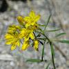 Haplophyllum Coronatum