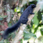 Black-banded Squirrel