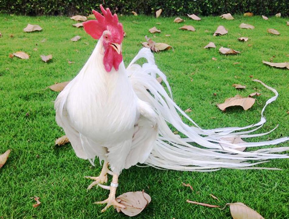 Giải mã nằm mơ thấy con gà với số đề Việt