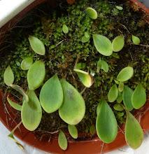 Photo: Utricularia quelchii