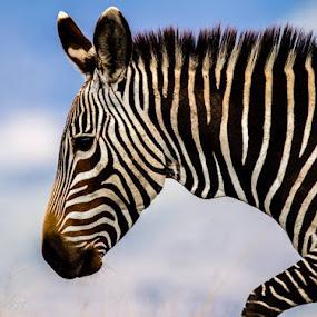 Mountain Zebra  by Johann Bekker - Novices Only Wildlife