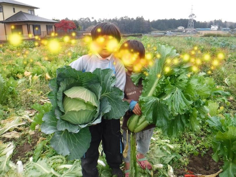 こどもたちがキャベツとタケノコ白菜を収穫してくれました。きつねの畑は無肥料自然栽培6年目、夏の緑肥の効果か、地力が衰えずよく育ちました。(こどもたちは、顔を出さないようにしています)