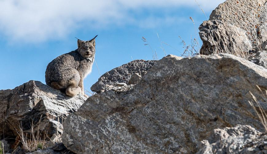 It is rare to see a lynx!