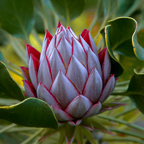 Striking. by Pax Bell - Nature Up Close Other plants ( protea, pwcflowergarden-dq )