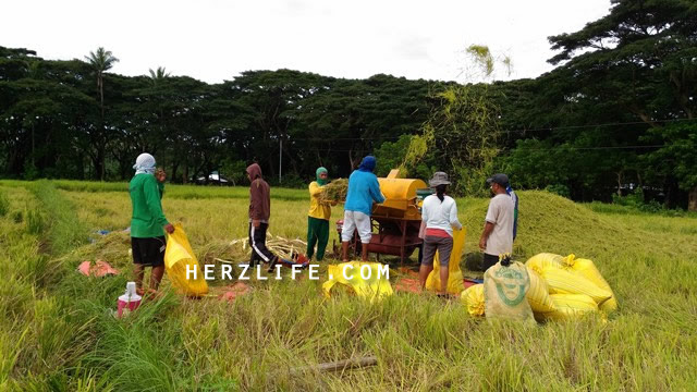 Rice Harvesting and Threshing in the Neighborhood