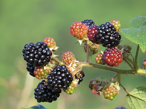 Photo: 26 Aug 13 Woodhouse Lane The fruits of Autumn: but don't look for the ripe Blackberries as they were in my stomach with a minute of the photo! (Ed Wilson)