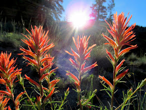 Photo: Indian Paintbrush and the sun rising over the ridge