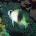 Barred Soapfish