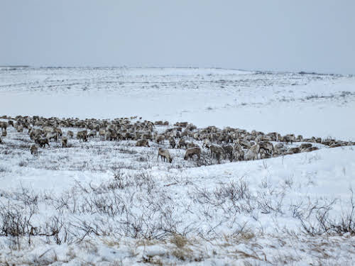 Reindeer herd searching for lichen on Richard Island