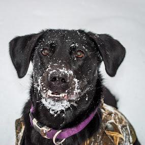 Kiya by Chris Emmons - Animals - Dogs Playing ( playing, animals, dogs, winter, pet, snow, pets, play, puppy, black lab, dog, lab )