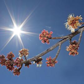 Maple Leaf Buds by Bill Diller - Nature Up Close Trees & Bushes ( forest, michigan, sunburst, nature, woods, maple, tree, maple leaf bud, trees, sun, shine, maple leaf )