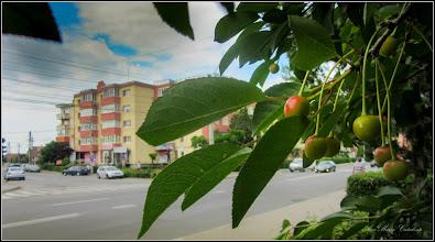 Photo: Cires (Prunus avium) - de pe Calea Victoriei, Mr.II - 2017.06.01