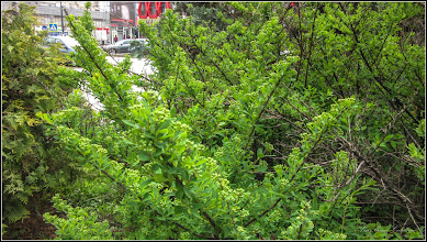 Photo: Turda, Calea Victoriei, arbust in zona la Nr. 13 - 2019.05.04