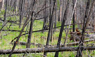 Photo: Bear about .5 mile from the end of my 9-mile hike (between Meriwether and Coulter Campground)